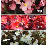 Dark Leaf Begonias