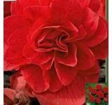 Double Scarlet Begonia