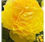 Double Yellow Begonia