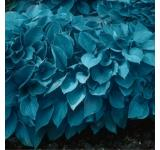 Blue Mixture Hosta