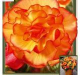 Yellow/Red Begonia
