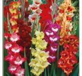 Parrot Mixture Gladiolus