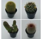 Cacti Assortment