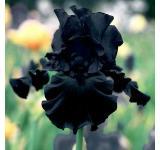 Hello Darkness Iris