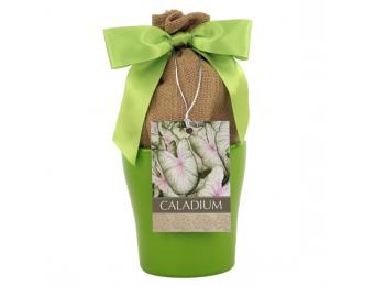 Summer Pink Caladium Kit