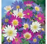 Windflowers Mix