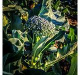 Organic Broccoli Seeds