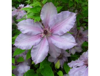 Mexican Beauty Clematis