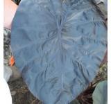 Black Sapphire Colocasia