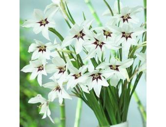 Acidanthera Gladiolus