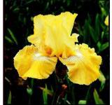 Again & Again Iris
