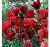 Red Hot Blend Tulips
