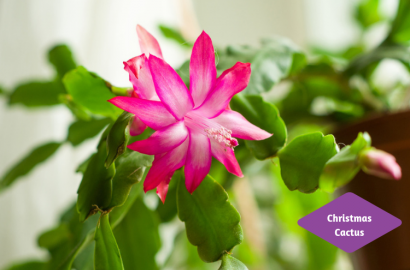 Christmas Cactus Blooming.Holiday Cactus Houseplants Plants Indoor Gardening