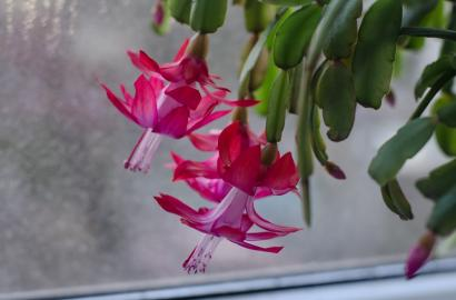 Caring For Christmas Cactus.Tips For Caring For Your Christmas Cactus Gardening