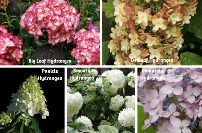 Types Of Hydrangeas | Shrub, Flowers, Gardening | Blooming