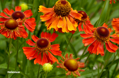 Summer Blooming Perennials Flowers Plants Gardening