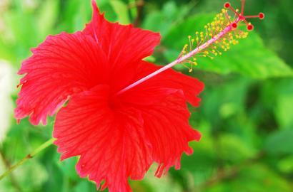 Grow A Hibiscus Shrub Hibiscus Flowers Gardening Blooming Secrets