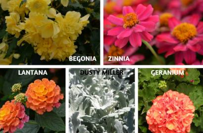 5 Best Container Fillers Zinnia Begonia Gardening Blooming Secrets