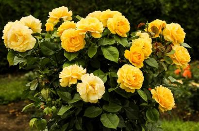 Rejuvenate An Older Rose Bush Roses Tips Gardening Blooming