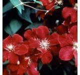 Red Cardinal Clematis