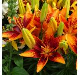 Orange Sensation Lily