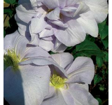 Louise Rowe Clematis