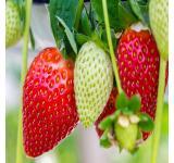 Strawberry Ozark Beauty