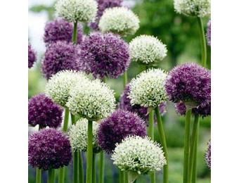 Wild About Allium Mix