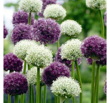 Wild About Allium Mix