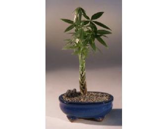 Braided Money Bonsai Tree Bonsai Indoor Gardening Blooming Secrets