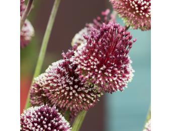 Red Mohican Allium