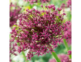 Magic Allium