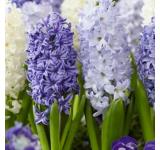 Blue Hyacinth Mix