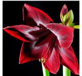Red Pearl Amaryllis