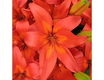 Matrix Asiatic Lily