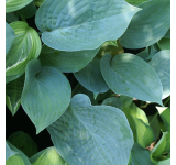 Blue Hawaii Hosta
