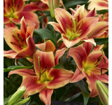 Montego Bay Lily