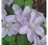 Silver Star Clematis