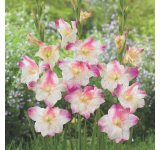 Frozen Sparks Gladiolus