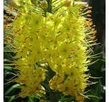 Eremurus Stenophyllus