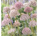 Silver Spring Allium