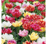 Murillo Tulip Mix
