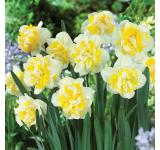 Westward Daffodil