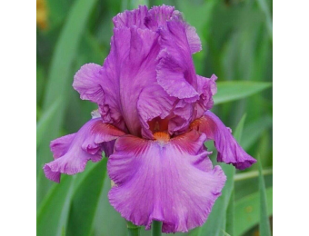 Persian Berry Iris