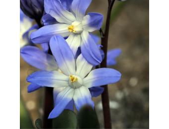 Chionodoxa Blue Giant