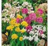 Small Flower Allium Mix
