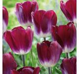 Kansas Proud Tulip