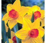 Brackenhurst Daffodil