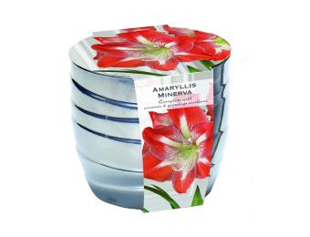 Minerva Amaryllis Grow Kit