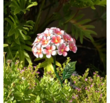 Solar Hydrangea Stake–Pink